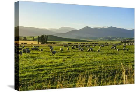Sheep Grazing at Sunset, Queenstown, Otago, South Island, New Zealand, Pacific-Michael Runkel-Stretched Canvas Print