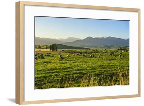 Sheep Grazing at Sunset, Queenstown, Otago, South Island, New Zealand, Pacific-Michael Runkel-Framed Art Print