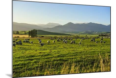 Sheep Grazing at Sunset, Queenstown, Otago, South Island, New Zealand, Pacific-Michael Runkel-Mounted Photographic Print