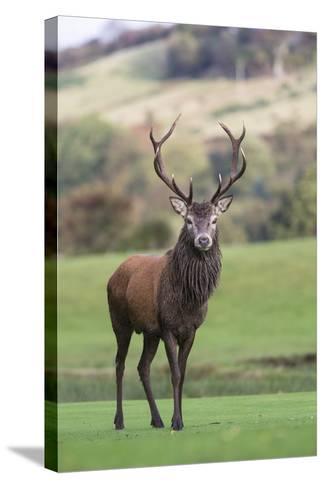Red Deer Stag (Cervus Elaphus), Arran, Scotland, United Kingdom, Europe-Ann and Steve Toon-Stretched Canvas Print