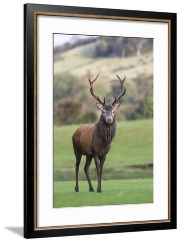 Red Deer Stag (Cervus Elaphus), Arran, Scotland, United Kingdom, Europe-Ann and Steve Toon-Framed Art Print