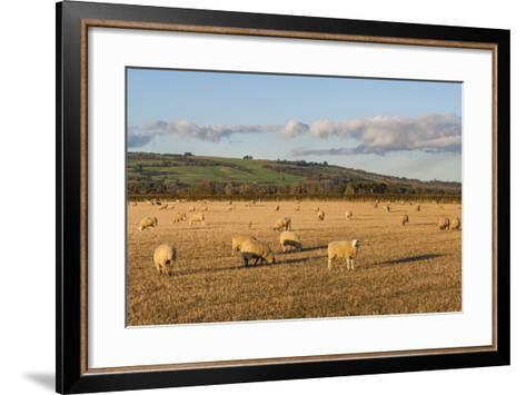 Sheep in the Cotswolds, Tewkesbury, Gloucestershire, England, United Kingdom, Europe-Matthew Williams-Ellis-Framed Art Print