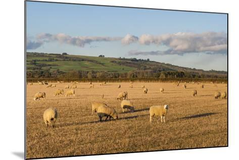 Sheep in the Cotswolds, Tewkesbury, Gloucestershire, England, United Kingdom, Europe-Matthew Williams-Ellis-Mounted Photographic Print