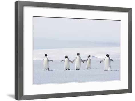 Adult Adelie Penguins (Pygoscelis Adeliae) Walking on First Year Sea Ice in Active Sound-Michael Nolan-Framed Art Print