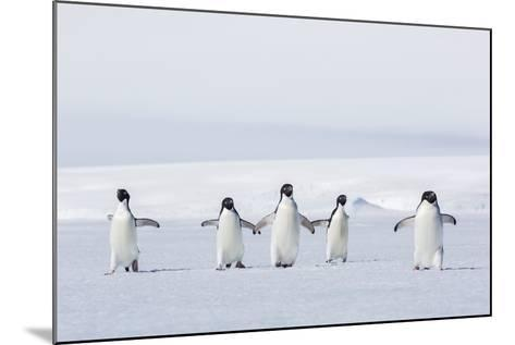 Adult Adelie Penguins (Pygoscelis Adeliae) Walking on First Year Sea Ice in Active Sound-Michael Nolan-Mounted Photographic Print