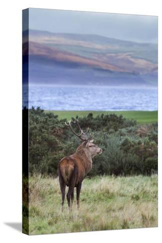 Red Deer Stag (Cervus Elaphus), Isle of Arran, Scotland, United Kingdom, Europe-Ann and Steve Toon-Stretched Canvas Print