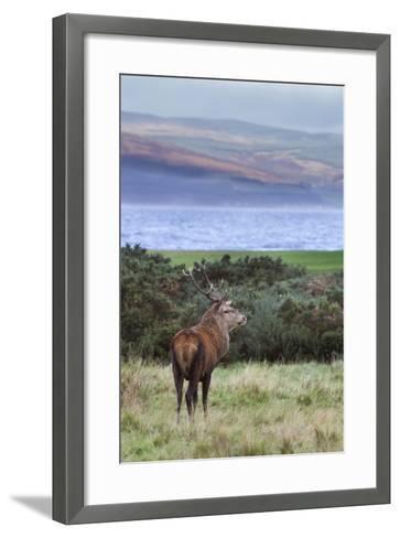 Red Deer Stag (Cervus Elaphus), Isle of Arran, Scotland, United Kingdom, Europe-Ann and Steve Toon-Framed Art Print