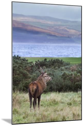 Red Deer Stag (Cervus Elaphus), Isle of Arran, Scotland, United Kingdom, Europe-Ann and Steve Toon-Mounted Photographic Print