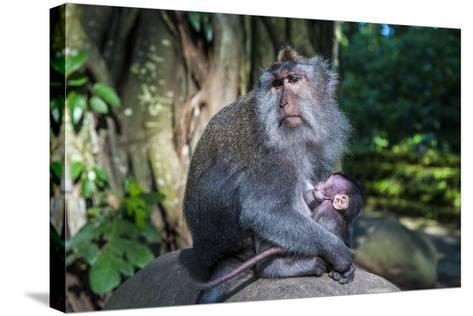 Crab-Eating Macaque (Macaca Fascicularis) Mother with Baby, Monkey Forest, Ubud, Bali, Indonesia-Michael Runkel-Stretched Canvas Print