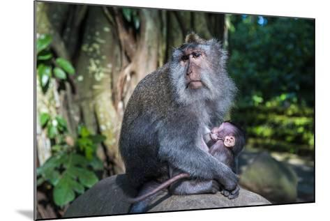 Crab-Eating Macaque (Macaca Fascicularis) Mother with Baby, Monkey Forest, Ubud, Bali, Indonesia-Michael Runkel-Mounted Photographic Print