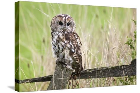 Tawny Owl (Strix Aluco), Captive, United Kingdom, Europe-Ann and Steve Toon-Stretched Canvas Print