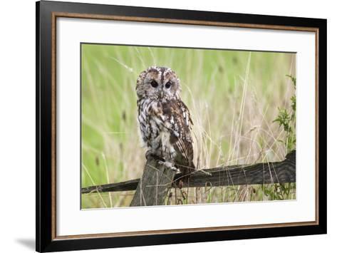 Tawny Owl (Strix Aluco), Captive, United Kingdom, Europe-Ann and Steve Toon-Framed Art Print