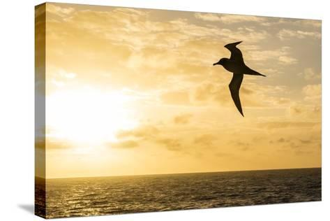 Adult Light-Mantled Sooty Albatross (Phoebetria Palpebrata) in Flight in the Drake Passage-Michael Nolan-Stretched Canvas Print