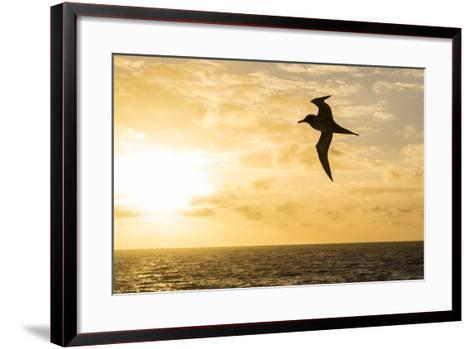 Adult Light-Mantled Sooty Albatross (Phoebetria Palpebrata) in Flight in the Drake Passage-Michael Nolan-Framed Art Print