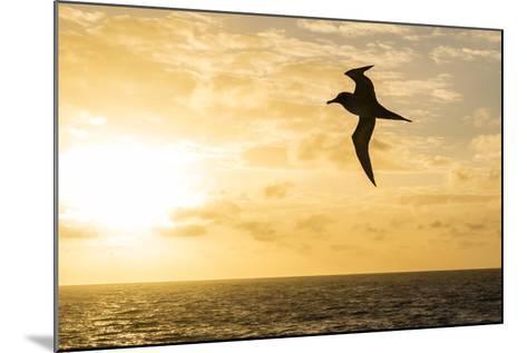 Adult Light-Mantled Sooty Albatross (Phoebetria Palpebrata) in Flight in the Drake Passage-Michael Nolan-Mounted Photographic Print