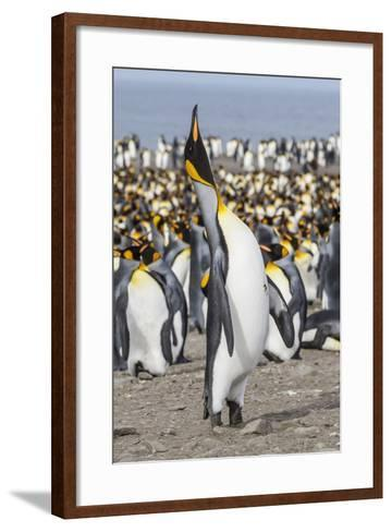 King Penguin (Aptenodytes Patagonicus) Breeding Colony at St. Andrews Bay-Michael Nolan-Framed Art Print