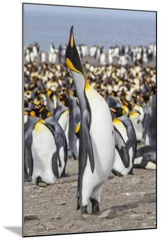 King Penguin (Aptenodytes Patagonicus) Breeding Colony at St. Andrews Bay-Michael Nolan-Mounted Photographic Print