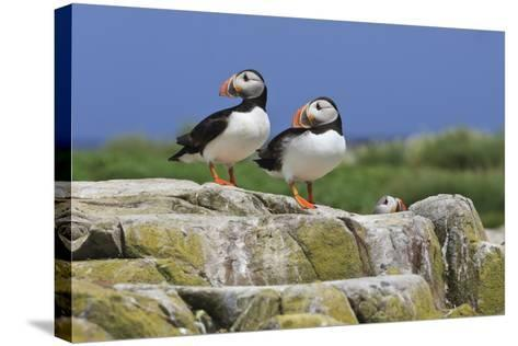 Atlantic Puffins (Fratercula Arctica) on a Rock Against a Blue Sky, Inner Farne, Farne Islands-Eleanor Scriven-Stretched Canvas Print