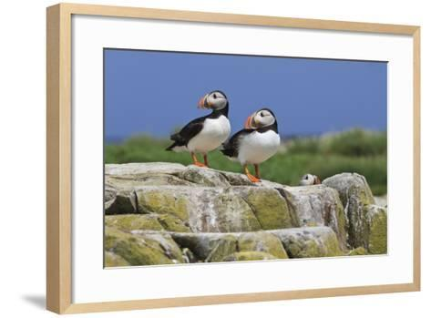 Atlantic Puffins (Fratercula Arctica) on a Rock Against a Blue Sky, Inner Farne, Farne Islands-Eleanor Scriven-Framed Art Print