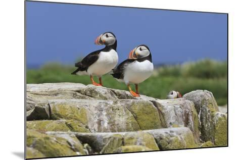Atlantic Puffins (Fratercula Arctica) on a Rock Against a Blue Sky, Inner Farne, Farne Islands-Eleanor Scriven-Mounted Photographic Print