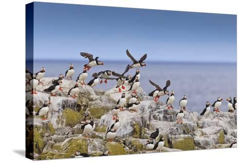 Atlantic Puffins (Fratercula Arctica) Take Flight from a Cliff-Top, Inner Farne, Farne Islands-Eleanor Scriven-Stretched Canvas Print