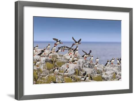 Atlantic Puffins (Fratercula Arctica) Take Flight from a Cliff-Top, Inner Farne, Farne Islands-Eleanor Scriven-Framed Art Print