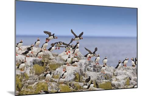 Atlantic Puffins (Fratercula Arctica) Take Flight from a Cliff-Top, Inner Farne, Farne Islands-Eleanor Scriven-Mounted Photographic Print