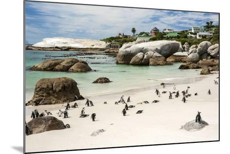African Penguins on Sand at Foxy Beach with Residential Homes in Background-Kimberly Walker-Mounted Photographic Print