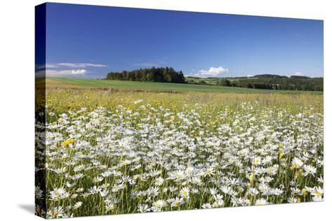 Flower Meadow with Marguerites (Leucanthemum Vulgare), Baden Wurttemberg, Germany, Europe-Markus Lange-Stretched Canvas Print