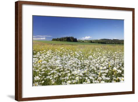 Flower Meadow with Marguerites (Leucanthemum Vulgare), Baden Wurttemberg, Germany, Europe-Markus Lange-Framed Art Print