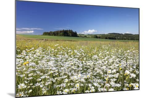 Flower Meadow with Marguerites (Leucanthemum Vulgare), Baden Wurttemberg, Germany, Europe-Markus Lange-Mounted Photographic Print