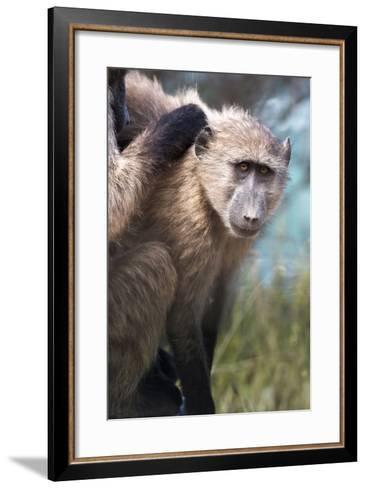 Chacma Baboon (Papio Ursinus), Cape of Good Hope, Table Mountain National Park-Kimberly Walker-Framed Art Print