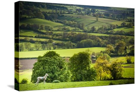 Lamb in Spring, Winchcombe, the Cotswolds, Gloucestershire, England, United Kingdom, Europe-Matthew Williams-Ellis-Stretched Canvas Print