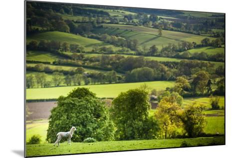 Lamb in Spring, Winchcombe, the Cotswolds, Gloucestershire, England, United Kingdom, Europe-Matthew Williams-Ellis-Mounted Photographic Print