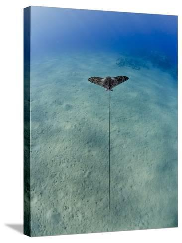 Spotted Eagle Ray (Aetobatis Narinari) Juvenile over Sandy Ocean Floor, from Above, Naama Bay-Mark Doherty-Stretched Canvas Print