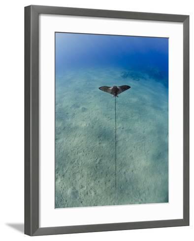 Spotted Eagle Ray (Aetobatis Narinari) Juvenile over Sandy Ocean Floor, from Above, Naama Bay-Mark Doherty-Framed Art Print