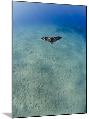 Spotted Eagle Ray (Aetobatis Narinari) Juvenile over Sandy Ocean Floor, from Above, Naama Bay-Mark Doherty-Mounted Photographic Print