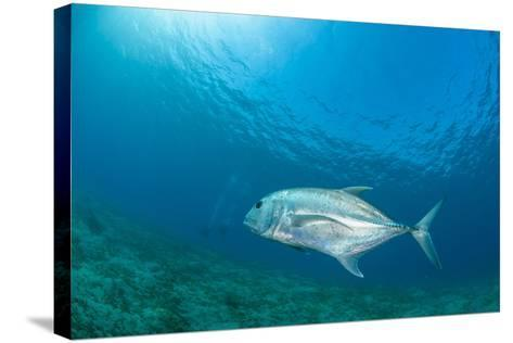 Giant Trevally (Caranx Ignobilis) Swimming Above Sea Grass Field-Mark Doherty-Stretched Canvas Print