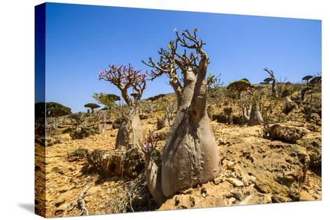 Bottle Trees in Bloom (Adenium Obesum), Endemic Tree of Socotra, Homil Protected Area-Michael Runkel-Stretched Canvas Print