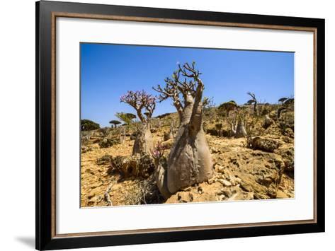 Bottle Trees in Bloom (Adenium Obesum), Endemic Tree of Socotra, Homil Protected Area-Michael Runkel-Framed Art Print