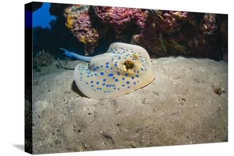 Bluespotted Stingray (Taeniura Lymma), Front Side View, Naama Bay-Mark Doherty-Stretched Canvas Print