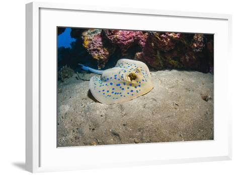 Bluespotted Stingray (Taeniura Lymma), Front Side View, Naama Bay-Mark Doherty-Framed Art Print