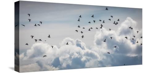 Flock of Puffin (Fratercala Arctica) Flying over Reykjavik, Harbor, Reykjavik, Iceland--Stretched Canvas Print