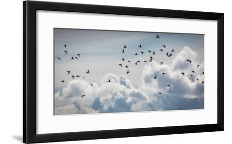 Flock of Puffin (Fratercala Arctica) Flying over Reykjavik, Harbor, Reykjavik, Iceland--Framed Art Print