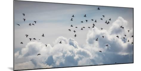 Flock of Puffin (Fratercala Arctica) Flying over Reykjavik, Harbor, Reykjavik, Iceland--Mounted Photographic Print