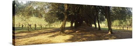 Olive Trees in a Vineyard, Schramsberg Vineyards, Calistoga, Napa Valley, California, USA--Stretched Canvas Print