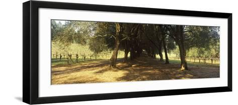 Olive Trees in a Vineyard, Schramsberg Vineyards, Calistoga, Napa Valley, California, USA--Framed Art Print