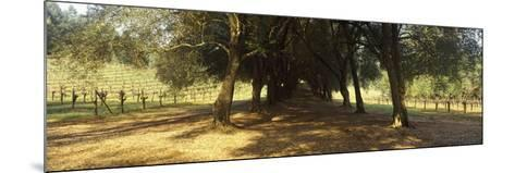 Olive Trees in a Vineyard, Schramsberg Vineyards, Calistoga, Napa Valley, California, USA--Mounted Photographic Print