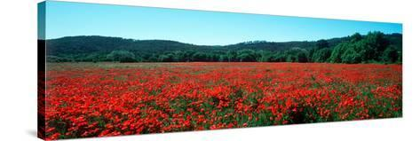 Poppies Field in Spring, Provence-Alpes-Cote D'Azur, France--Stretched Canvas Print