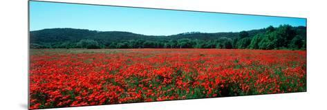 Poppies Field in Spring, Provence-Alpes-Cote D'Azur, France--Mounted Photographic Print